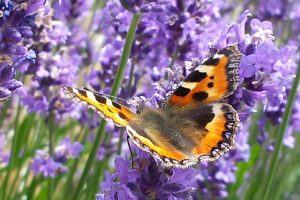 Tortoiseshell butterfly on Lavender