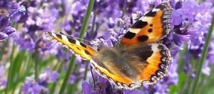 Butterfly on lavender 1024 x 551