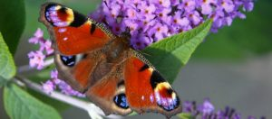 peaccok butterfly on buddleia 1024 x 451
